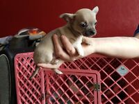 Blue fawn tiny t cup chihuahua puppies ready now