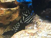 Tropical fish - zebra & sunshine pleco, puffer etc