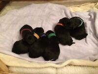 Beautiful Black Pedigree Labrador Puppies