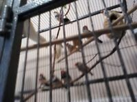 Zebra Finches for sale