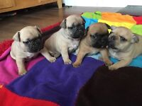 4 stunning French bulldog puppies