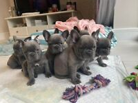 Blue french bulldog dogs