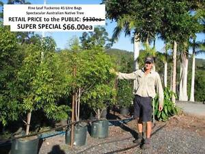Fine Leaf Tuckeroo 45 ltr Spectacular Aussie Native Tree  HS034 Mudgeeraba Gold Coast South Preview
