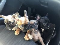 Kc french bulldogs reduced!!