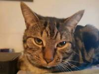 2 Toyger cats for sale