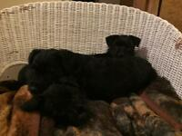 Charming, home reared Patterdale x Border Terrier pups