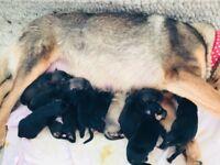 German shepherd cross Rottweiler puppies
