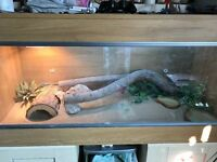 Bearded dragon with vivarium and supplies/accessories