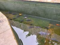 pond closure koi carp
