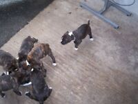 6 Staffordshire bull terrier puppies for sale