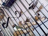 Job lot various Finches - plus cages, nest boxes, food etc.
