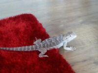 dragon £80
