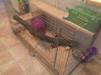 12wk old male rats and cage £85