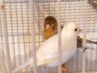 White female canary