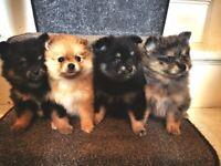 Russian Pomeranian Merles ready in two weeks