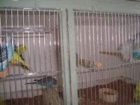 budgies and doves for sale