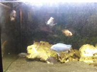 8 Malawi Chiclids for sale