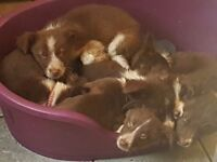 Beautiful brown and white border collie puppies