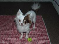 Chihuahua looking for loving home.