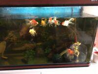 Large fancy goldfish