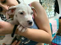 Xl bully American bulldog 1BOY 1GIRL LEFT* puppiesREDUCED**
