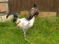 Hens | Birds for Sale - Gumtree