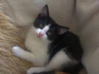 cute black and white kitten ls7