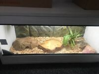Whole Viv set up with bearded dragon
