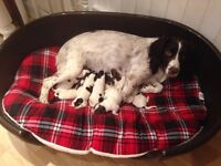 Female Liver & White English Springer Spaniel for sale