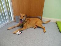 Friendly Labrador Crossbreed