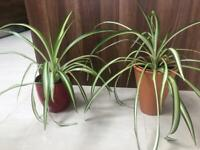 Spider plants in ceramic or terracotta pot. Collect Fulham
