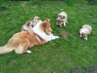 Gorgeous Lassie pups