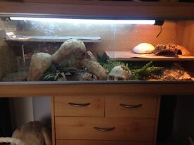 2 baby bearded dragons and complete set up