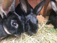 Young black Rex rabbits