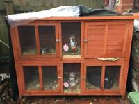 Guinea Pigs - including hutch & £100s accessories,