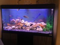 STUNNING Fluval Cichlid set up *reluctant sale*