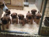 puggle puppies (beagle x pug)