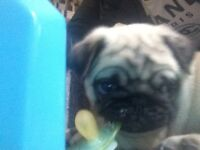 100% Pure Pug puppy for sale