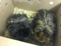 FREE Guineapigs plus all needed to care for
