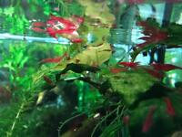 Fish Tank Shrimp
