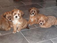 Gorgeous and Adorable Shorkie Puppies