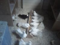 for sale 11 pure white fantail doves Plus 2 black with wite face pigeons. £100 the lot