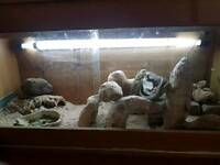 2 bearded dragons and full set up