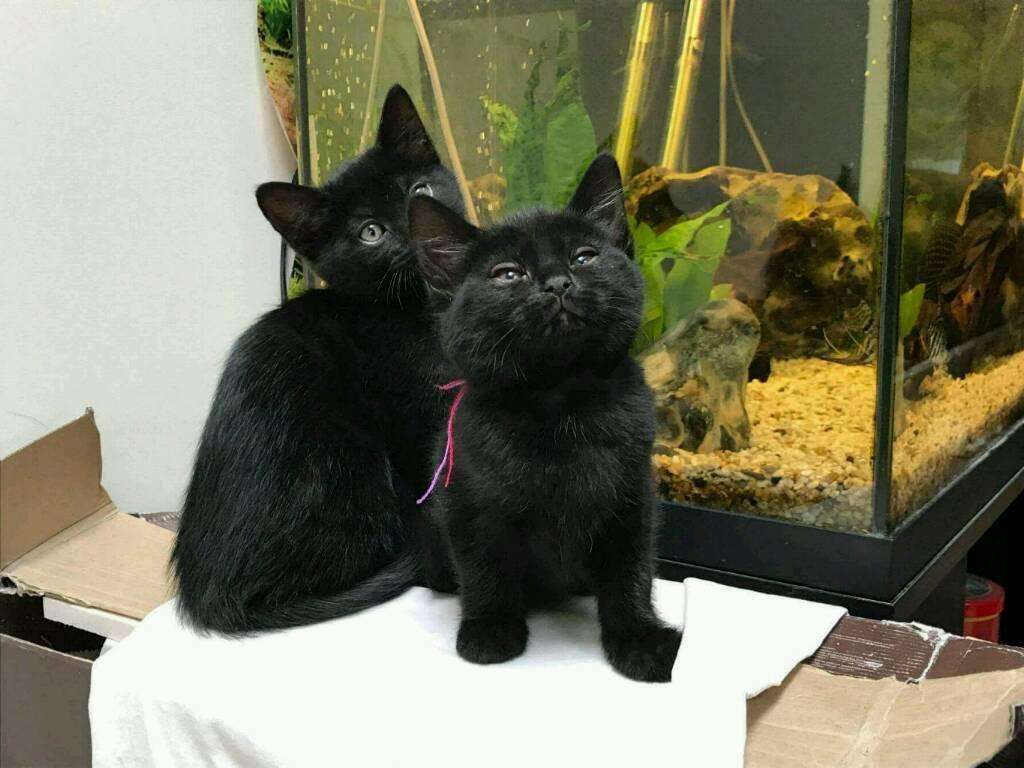 Black females kittens ...