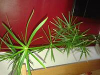 Indoor umbrella plant, House Plant