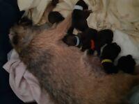 Kc reg Border terrier pups, 1 bitch available