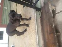 Adorable pure bred male Great Dane puppy 8 weeks