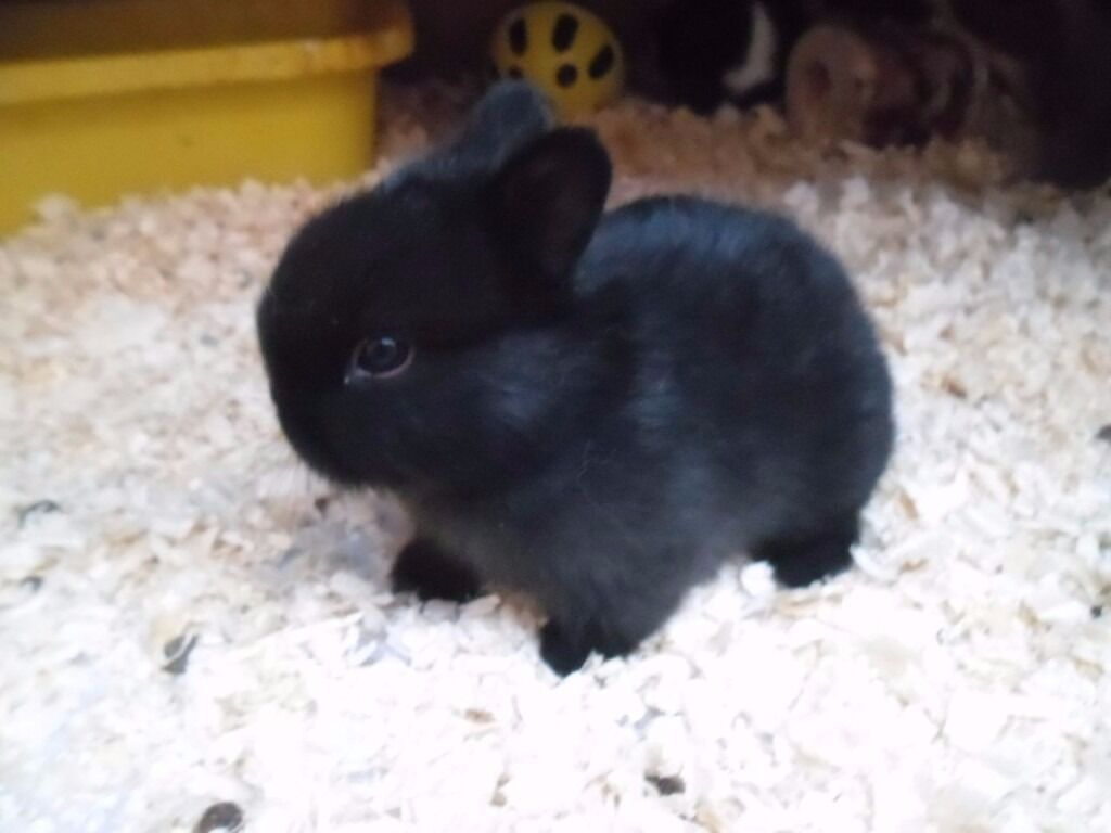 Pure Black Netherland Dwarf Cross Baby Rabbits Sold In