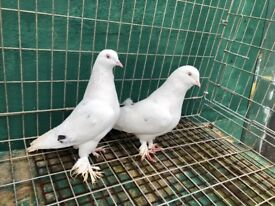 Lovely pigeons for sale