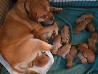 Bull mastiff puppy's for sale